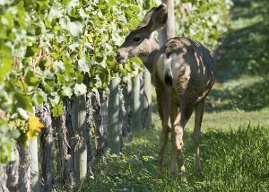 One of a dozen Mule Deer taking advantage of the ripening grapes. Gray Monk Vineyard 1055 Camp Road, Okanagan Center BC. October 02, 2010. (Peter Tanner Photo)